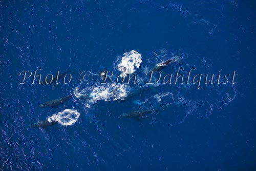 Aerial of Humpback Whales, Maui, Hawaii - Hawaiipictures.com