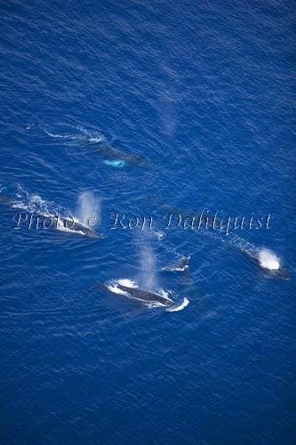 Aerial of Humpback Whales, Maui, Hawaii Picture - Hawaiipictures.com