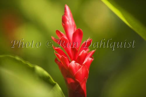 Red Ginger, Maui, Hawaii Photo