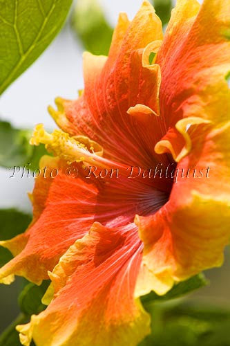 Hibiscus, Maui, Hawaii Picture