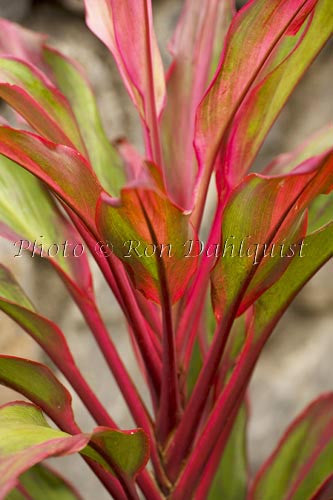 Variegated Ti leaves, Maui, Hawaii Stock Photo - Hawaiipictures.com
