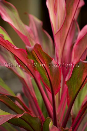 Variegated Ti leaves,Hawaii Picture - Hawaiipictures.com
