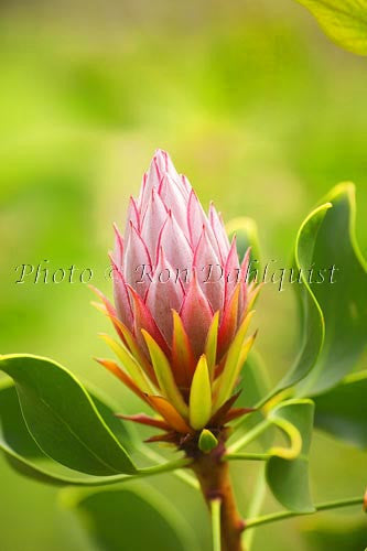 King Protea, Upcountry Maui Picture - Hawaiipictures.com