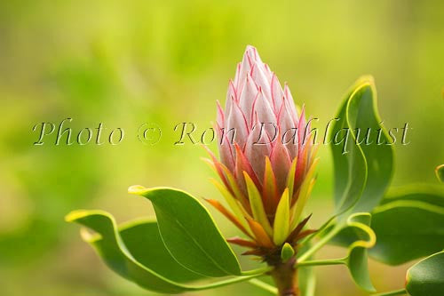 King Protea, Upcountry Maui Photo
