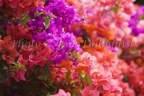 Colorful Bouganvillea, Maui, Hawaii