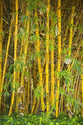 Stand of Bamboo, Maui, Hawaii