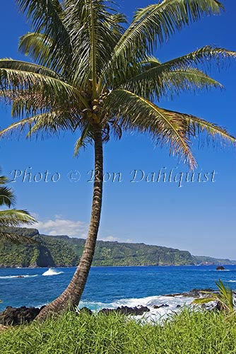 Palm tree, Keanae, north coast of Maui, Hawaii