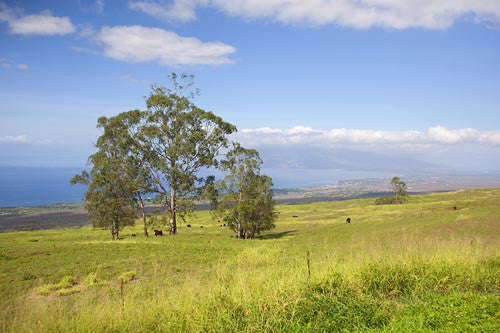 Rolling fields of Ulupalakua, Upcountry Maui