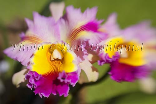 Cattleya orchid, Maui, Hawaii