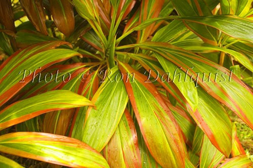 Variegated Ti leaves, Maui, Hawaii Photo Stock Photo