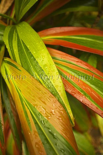 Variegated Ti leaves, Maui, Hawaii Picture Photo Stock Photo
