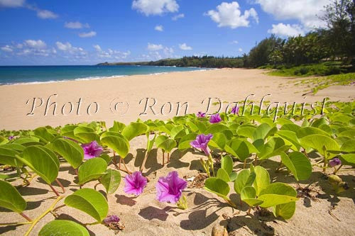 Beach Morning Glorys on Fleming Beach, Kapalua, Maui, Hawaii Photo - Hawaiipictures.com