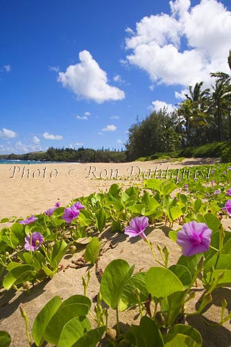 Beach Morning Glorys on Fleming Beach, Kapalua, Maui, Hawaii Picture Photo - Hawaiipictures.com