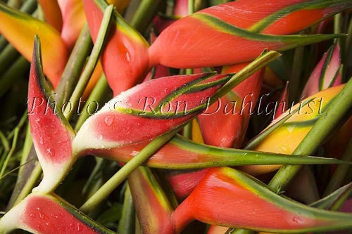 Tropical heliconia flowers, Hana, Maui, Hawaii