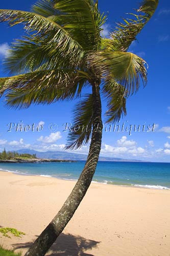 Palm tree on Fleming Beach, Kapalua, Maui, Hawaii
