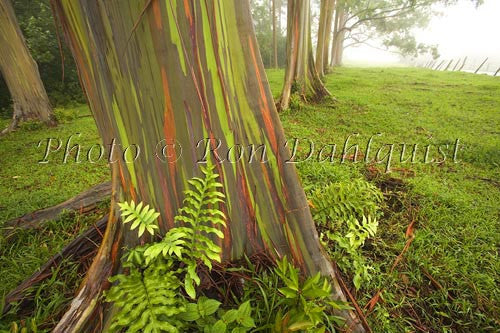 Rainbow Eucalyptus tree on the road to Hana, Maui, Hawaii Picture Photo