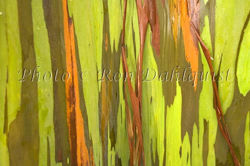 Rainbow Eucalyptus tree on the road to Hana, Maui, Hawaii Picture