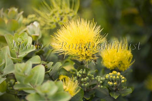 Ohia, Ohia leHula, Metrosideros polymorpha, Maui, Hawaii Picture Stock Photo
