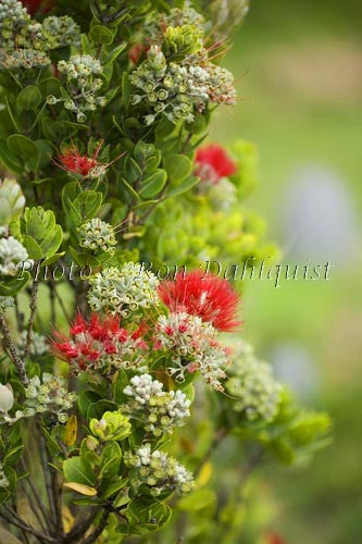 Ohia, Ohia leHula, Metrosideros polymorpha, Maui, Hawaii Picture Photo