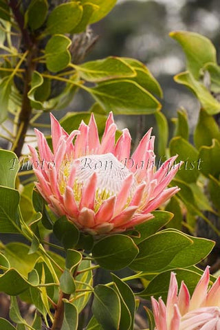 King protea flower, upcountry Maui - Hawaiipictures.com