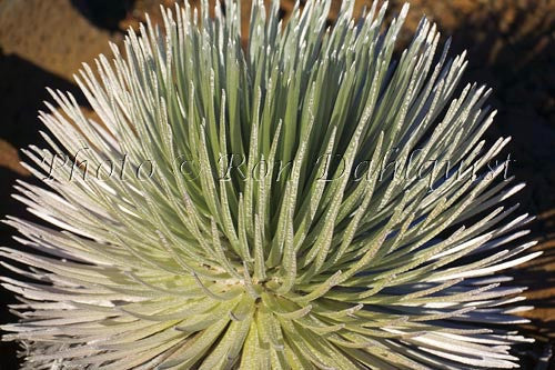 Close-up of Silversword, Haleakala, Maui, Hawaii Photo