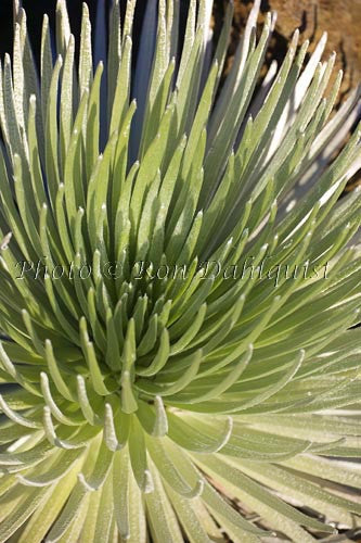 Close-up of Silversword, Haleakala, Maui, Hawaii Picture