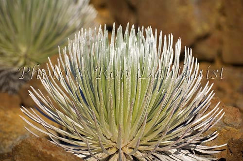 Silversword plants, Haleakala National Park, Maui, Hawaii