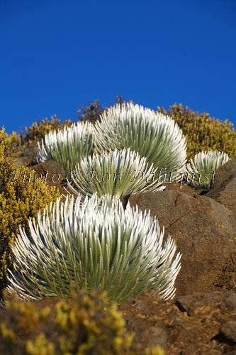 Silversword plants, Haleakala National Park, Maui, Hawaii Picture