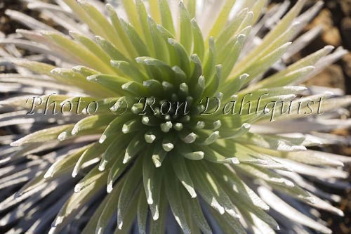 Close-up of Silversword, Haleakala, Maui, Hawaii