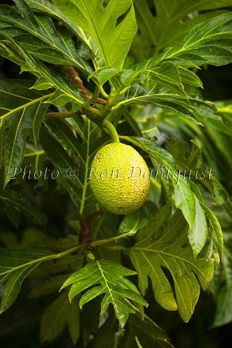 Breadfruit (Artocarpus altilis), growing in Hana, Maui