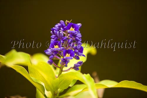 Blue Ginger tropical flower, Maui, Hawaii - Hawaiipictures.com