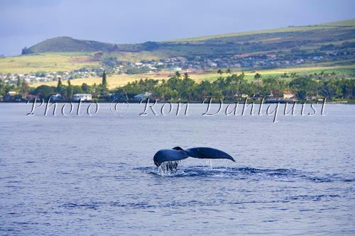 Humpback whales, early morning off of Lahaina, Maui, Hawaii