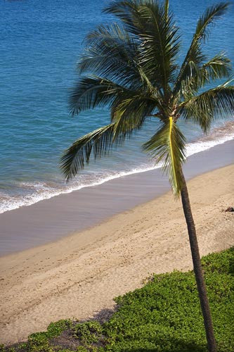 Palm tree on the beach in Kaanapali with turquoise blue ocean in background