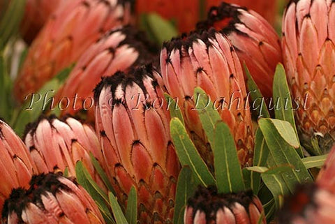Pink Minks , Protea blossoms, Kula, located Upcountry Maui, Hawaii - Hawaiipictures.com