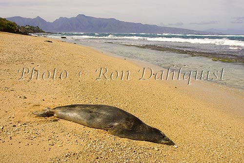 Hawaiian monk seal on the beach at Ho'okipa, Maui, Hawaii