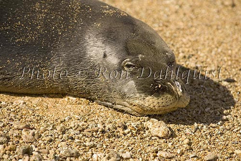 Hawaiian monk seal on the beach at Ho'okipa, Maui, Hawaii Picture - Hawaiipictures.com