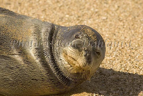 Hawaiian monk seal on the beach at Ho'okipa, Maui, Hawaii Photo - Hawaiipictures.com