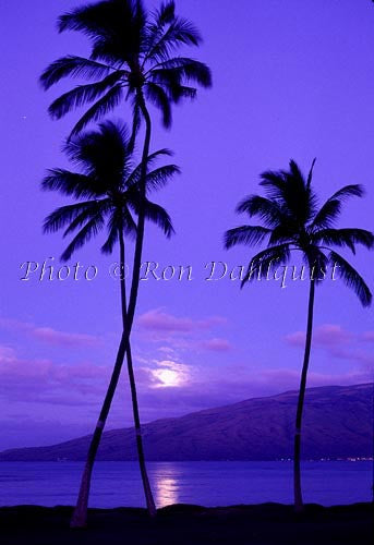 Moon setting with Silhouetted palm trees, Kiehi, Maui, Hawaii