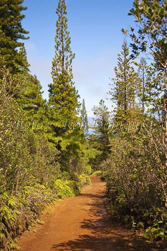 Vegetation along the Munro Trail on the island of Lanai, Hawaii - Hawaiipictures.com