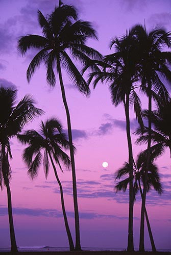 Palm trees and moon at sunset, Oahu, Hawaii