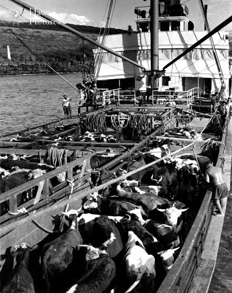 Picture Of Cattle On Steam Ship