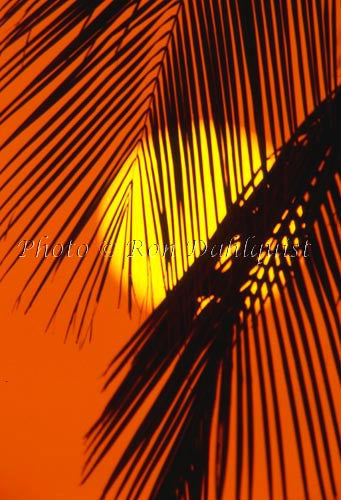 Silhouette of palm frond at sunset, Maui, Hawaii Picture Photo
