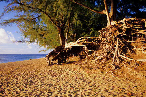 Ke'e Beach Tree - Hawaiipictures.com