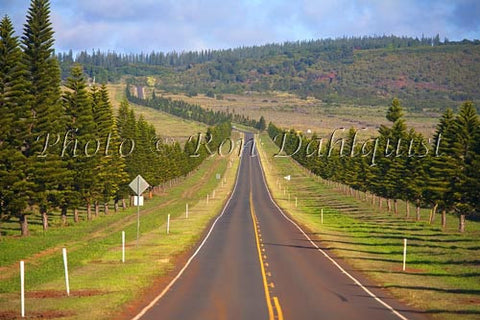 Cook Island Pines line the highway to Lanai City, Lanai, Hawaii Picture - Hawaiipictures.com