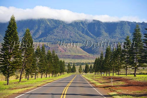 Cook Island Pines line the highway to Lanai City, Lanai, Hawaii - Hawaiipictures.com