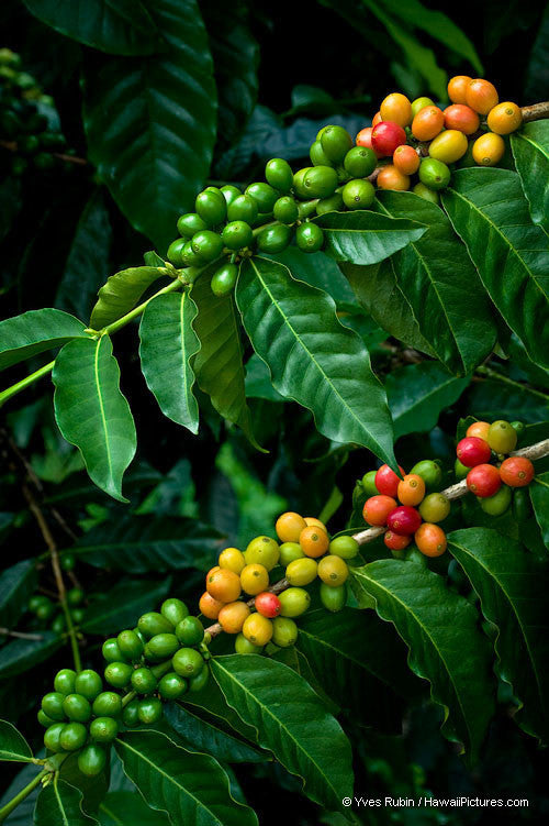 Kona Coffee Beans On Two Branches