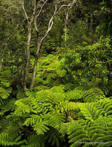 Fern Forest Big Island - Hawaiipictures.com