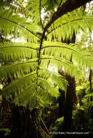 Fern Tree Big Island - Hawaiipictures.com