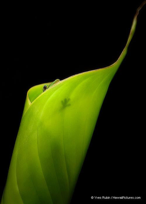 Gecko Peeking Out Of Banana Leaf