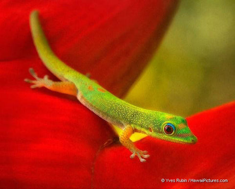 Green Gecko On Red Heliconia